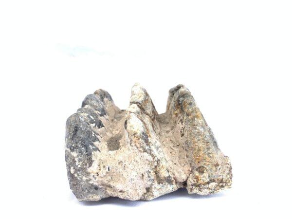 FOSSIL Stegodon Vertebrate Mammal RIDGE MOLAR TEETH Organic Remains Relic