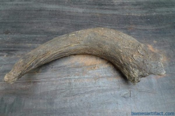 FOSSILS ANCIENT BUFFALO Skull & Antler Fossil Sulawesi Organic Remains Relic
