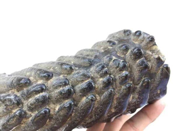 AMAZINGGLAZED.lbSTEGODON/MASTADONTEETHFossilFossilsPrehistoric